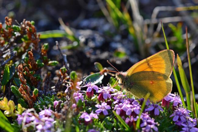 A northern clouded yellow butterfly (Colias hecla) on the wildflower moss campion (Silene acaulis) along an escarpment of the Puvirnituq River