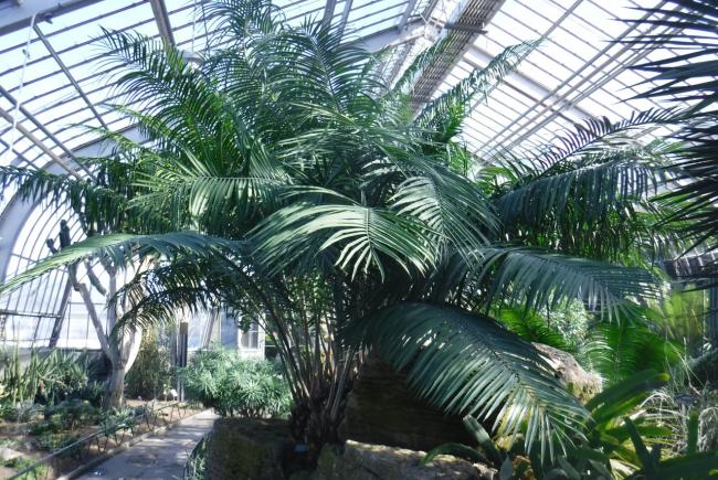At the top of the rock, in exhibition greenhouse 7, Encephalartos villosus, a specimen registered at the Montreal Botanical Garden in 1959.