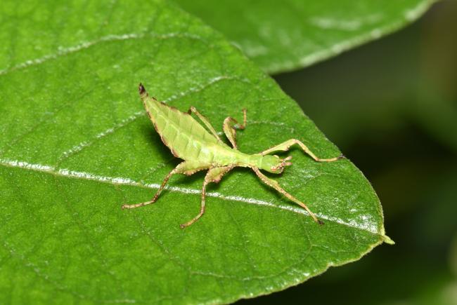 Nanophyllium asekiense de couleur verte, 15 jours après son éclosion.