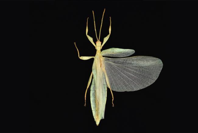 Phyllium brossardi (Ranau, Sabah, Malaysia - 2007)