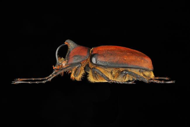 Golofa  limogesi (mâle) - Pérou