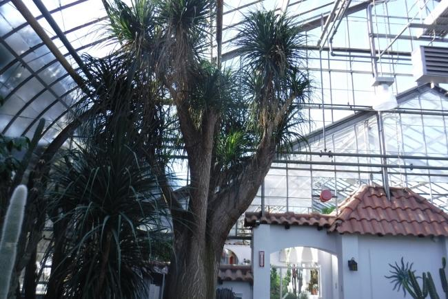 This huge trunk in exhibition greenhouse 7, Beaucarnea recurvata, is a specimen registered at the Montreal Botanical Garden in 1938.
