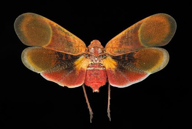 Scamandra rosea saturata - Malaisie