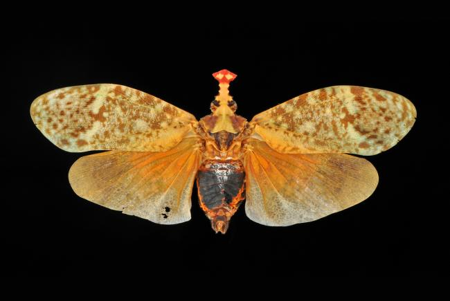 Phrictus moebiusi - Pérou