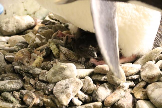 Macaroni penguin (Eudyptes chrysolophus)