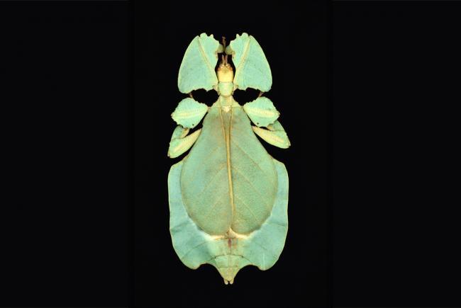 Phyllium bioculatum (Mt. Salak, West Java, Indonesia - 2006)