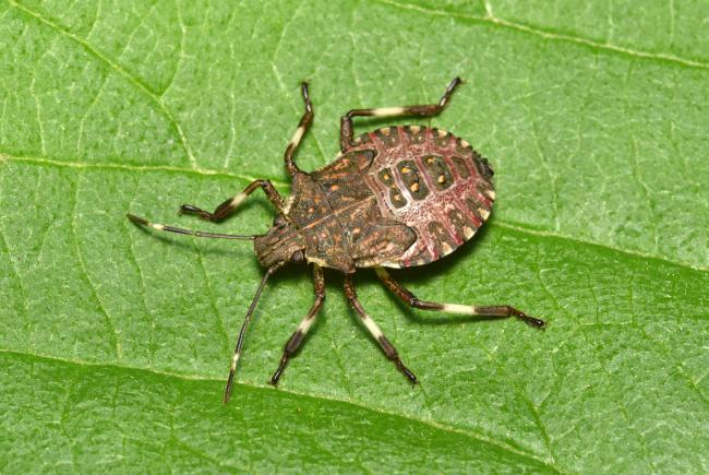 Fifth instar nymph of the brown marmorated stinkbug (Halyomorpha halys).