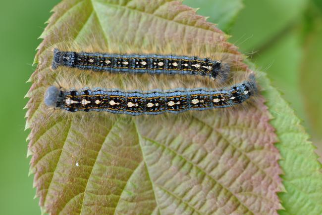 Processionary caterpillars wreak havoc…but not in Québec!