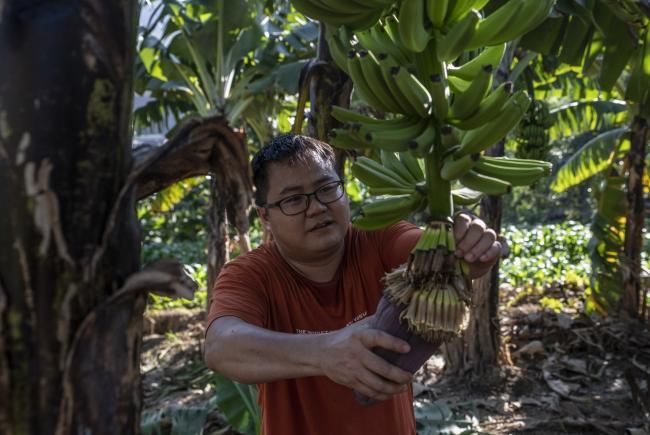 Zhou Lifu in the family banana plantation (Abang)