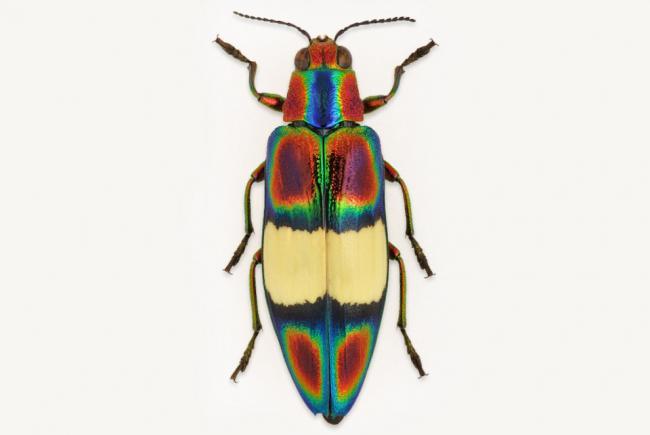 Chrysochroa ephippigera (Vietnam)