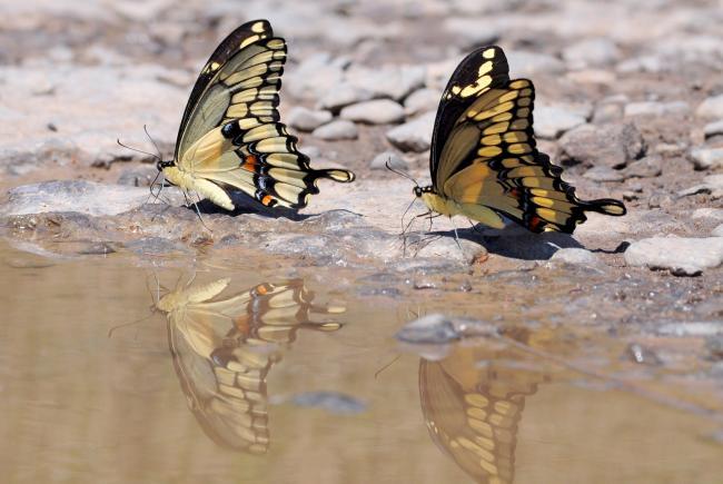 Deux papillons grands porte-queues