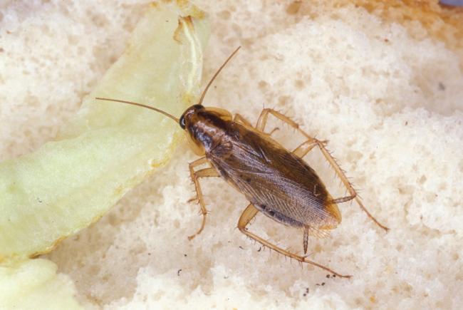 Cockroache