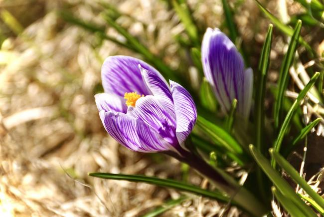 The first flower in the garden: the crocus