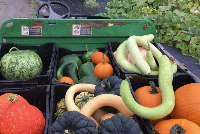 Winter squash can be stored for a long time