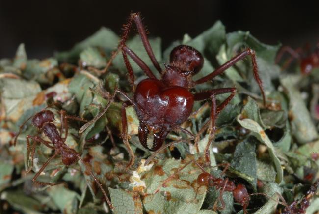 Atta ants
