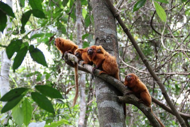 Family group of golden lion tamarins at the Poço das Antas Biological Reserve.
