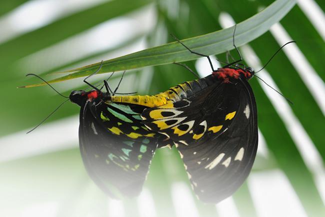 Accouplement papillons