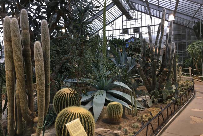 Floraison de l'agave guiengola – Jardin botanique de Montréal – 13 janvier 2020