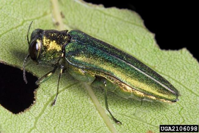 Agrile du frêne (Agrilus planipennis)