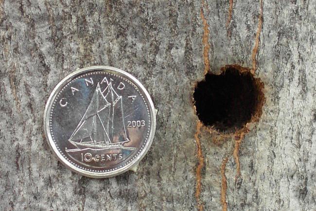 Visuel 8 - longicorne asiatique (Anoplophora glabripennis) – orifice de sortie et pièce de 10 cents