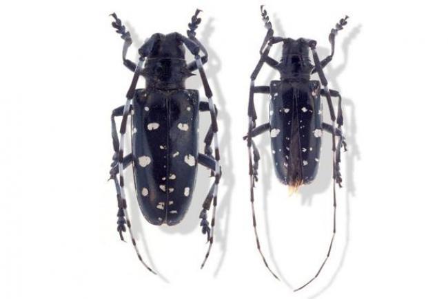 Visuel 2 - longicorne asiatique (Anoplophora glabripennis) - Mâle à droite, femelle à gauche