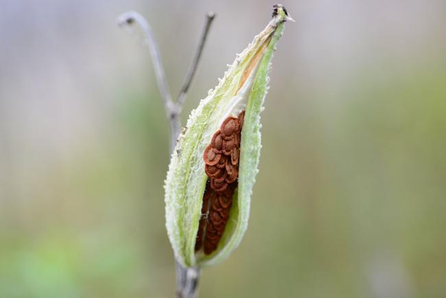 Fruit et graines de l'asclépiade de Syrie (Asclepias syriaca)
