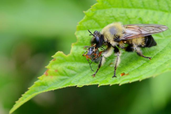 Les asilides sont des mouches prédatrices voraces. Celle-ci, du genre Laphria, est très commune au Québec.