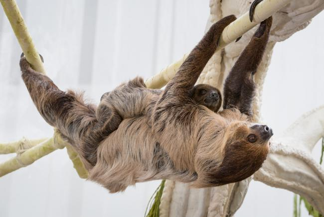Sloths - mother and offspring