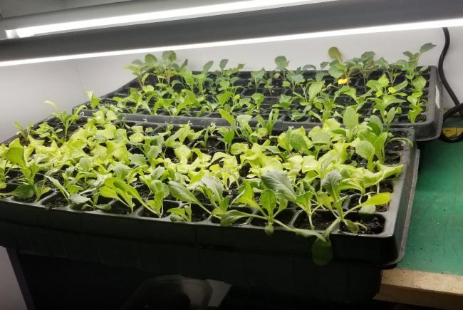 Un système d'éclairage pourra servir à démarrer des semis pour des récoltes successives. Ici, des légumes feuilles en vue de la fin de saison, direction couche froide.