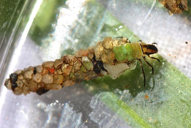 Larve de phrygane dans son fourreau - Psilotreta labida
