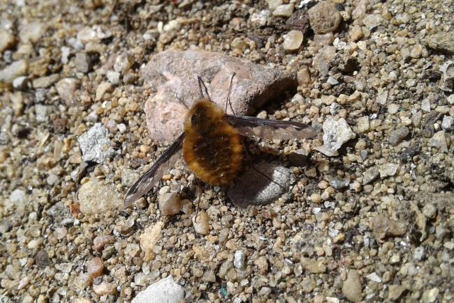 Le grand bombyle (Bombylius major) est une espèce commune, que l'on aperçoit très tôt au printemps. Ici, une femelle cherche à accumuler des particules de sable dans sa poche abdominale.