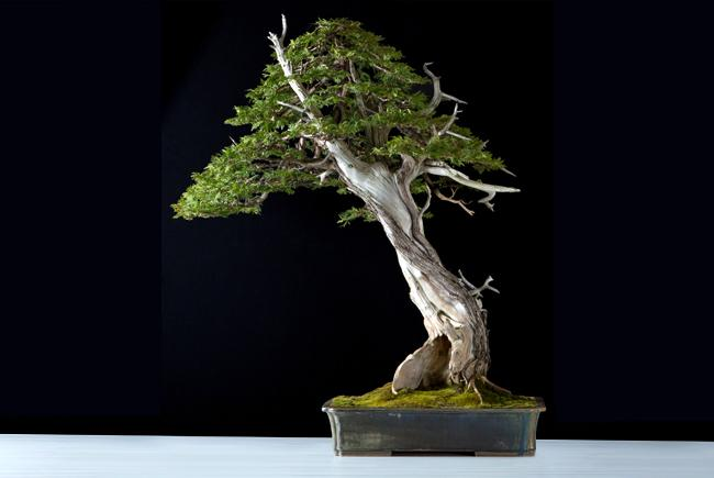 Thuya occidentalis (Canadian Bonsai Award - Rochester 2018)