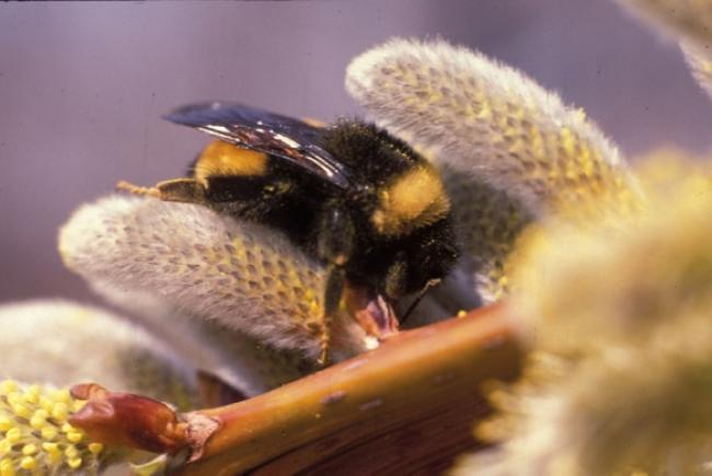 The yellow-banded bumblebee (Bombus terricola) is one of five species of bumblebee currently on the list of endangered species in Canada.