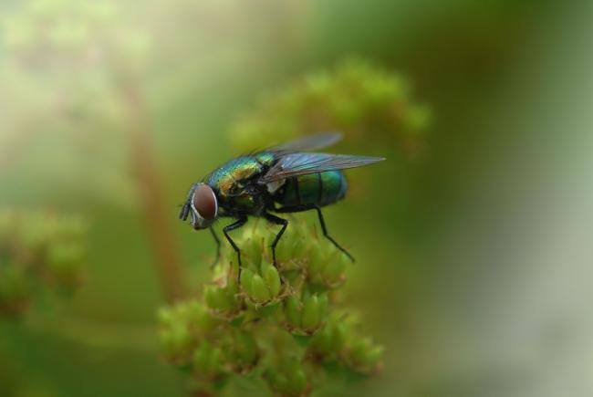 Les calliphorides arborent généralement des couleurs bleu ou vert métallique. Les larves sont nécrophages, mais les adultes se nourrissent de liquide, dont le nectar des fleurs.