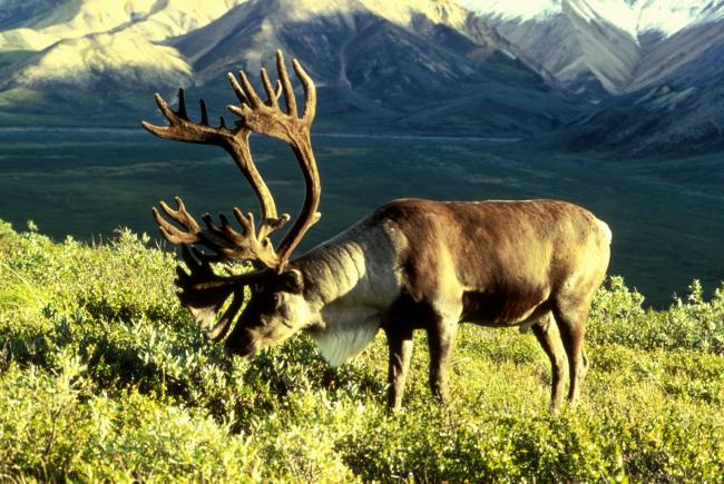 Caribou mâle en Alaska