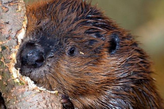Castor Canadensis  (beaver)