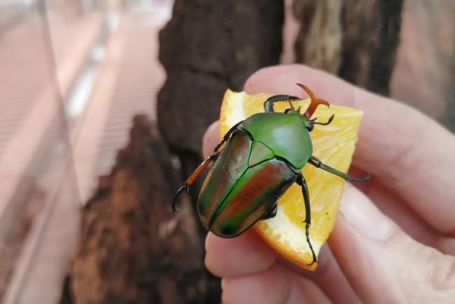 Flamboyant flower beetle - Eudicella gralli