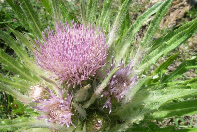 Plant de chardon de Mingan en fleurs