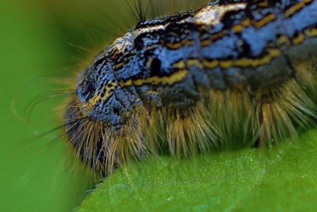 Chenille de livrée des forêts(Malacosoma disstria)