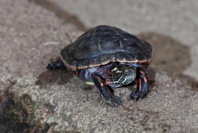 Chrysemys picta (tortue peinte)