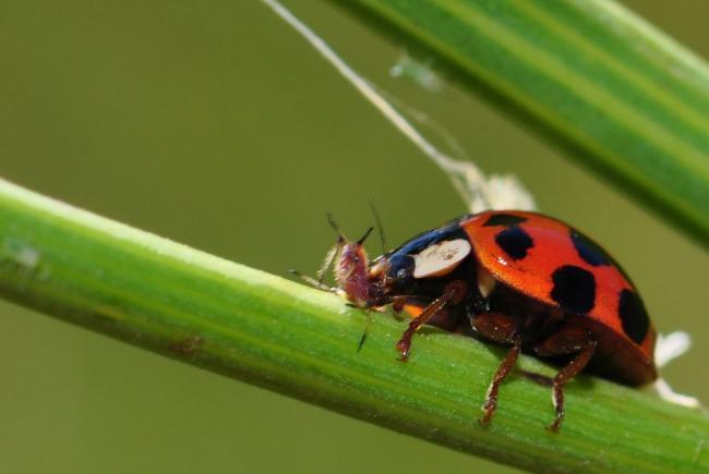 Les coccinelles constituent des prédateurs importants pour le contrôle des populations d'insectes ravageurs.