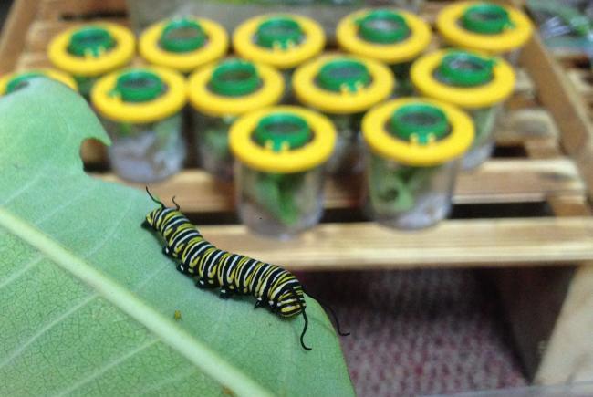 Raising monarch caterpillars