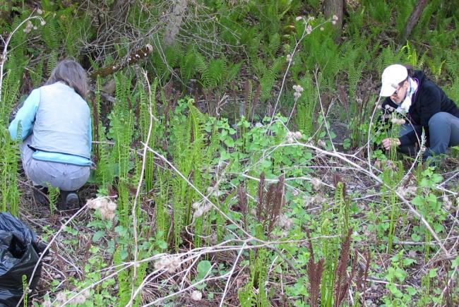 Corvée d'arrachage d'alliaire pour préserver la biodiversité