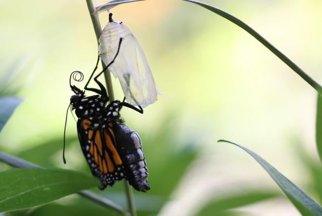 Monarch getting out of its chrysalis