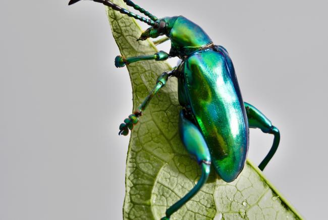 Adult female frog-legged leaf beetle.