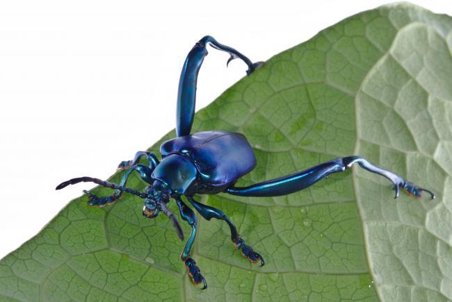 Adult male frog-legged leaf beetle.