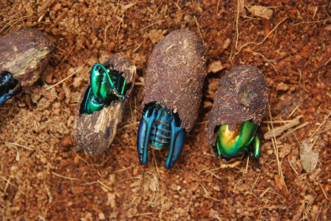 Frog-legged leaf beetle shells; adults will emerge in the next few days.