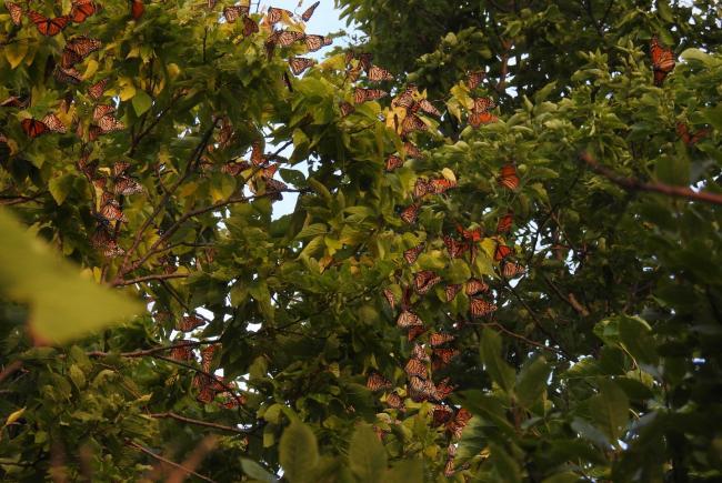 Monarchs roosting (Point Pelee, Ontario)