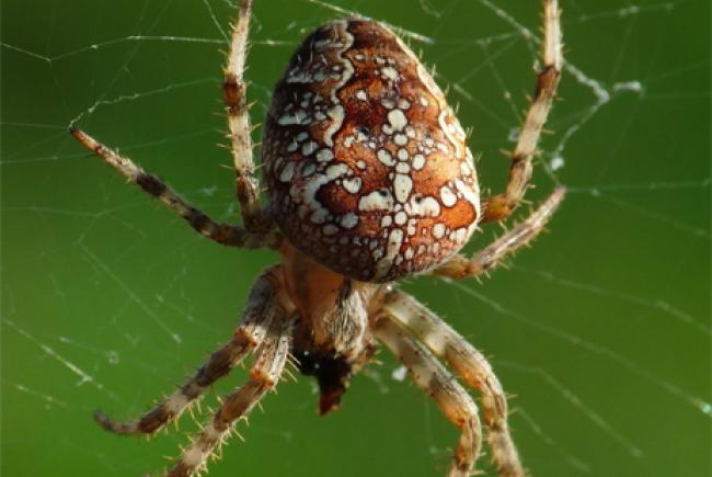Vos voisines les araign es blogue espace pour la vie - Araignee rouge dangereux pour l homme ...