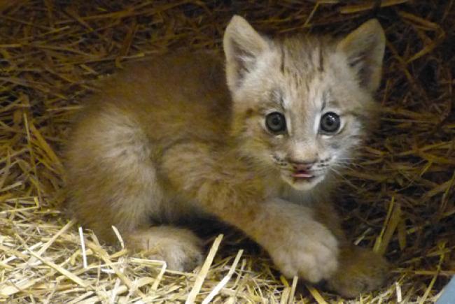 Chaton lynx du Canada, © Biodôme de Montréal